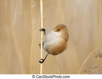 Bearded tit female feeding on seeds in reed bed - Bearded...