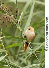 Bearded tit, female wild bird