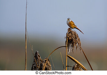 Bearded tit in the reeds
