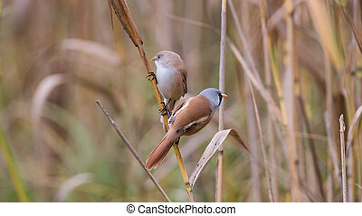 Bearded Tits or Bearded Reedlings couple on a straw