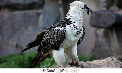 bearded Vulture eat meat and fly out