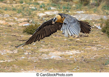 Bearded vulture flying - Bearded vulture (Gypaetus barbatus...