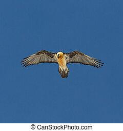 bearded vulture (gypaetus barbatus) in flight in blue sky ...