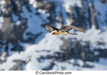 bearded vulture (gypaetus barbatus) in flight in rocky ...