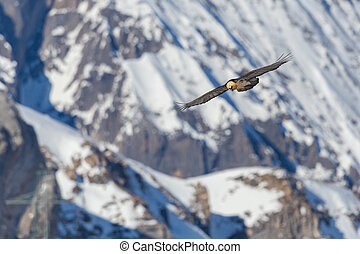 bearded vulture (gypaetus barbatus) in flight, snow ...