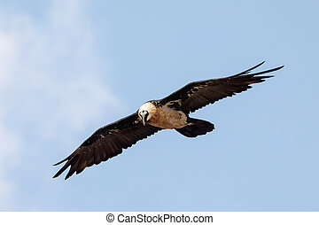 Bearded Vulture, Simien Mountain Ethiopia - Bearded Vulture...