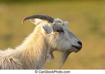 bearded white goat