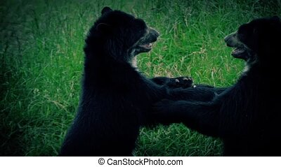 Bears Fighting At Dusk - Two black bears fighting in...