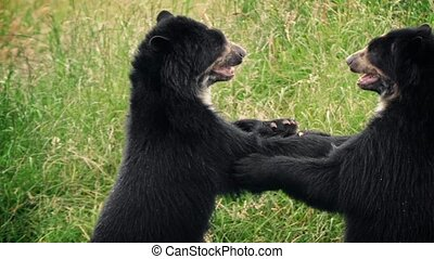Bears Fighting In Wild Grassland - Couple of black bears...