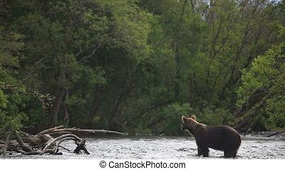 bears fishing - Grizzly bears fishing for salmon, Kamchatka,...
