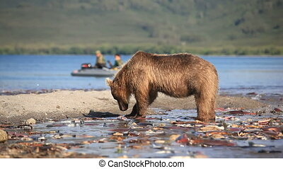 bears fishing for salmon - Grizzly bears fishing for salmon,...