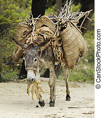 Beast of Burden - A burro eating leaves while walking a dirt...