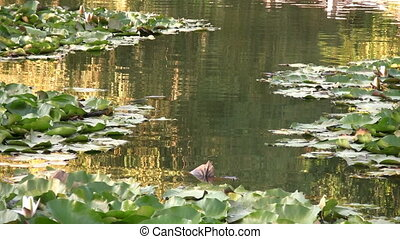 Beatiful lake with water lilies