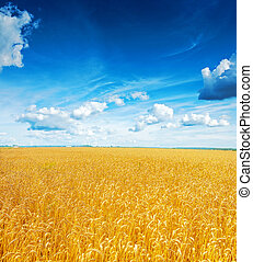 beatiful view on field of wheat and blue cloudy sky