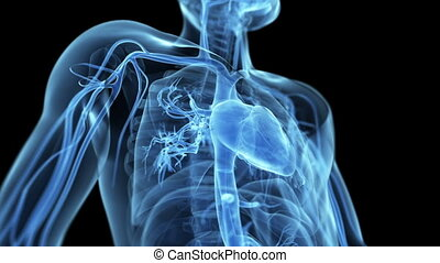 Beating heart - Animation showing the beating heart