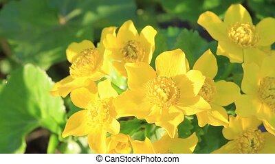 beau, éclairé, printemps, jaune, soleil matin, fleurs