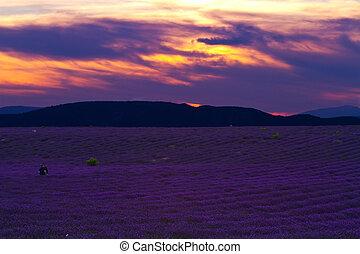 beau, été, champ lavande, coucher soleil, paysage
