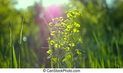 beau, été, herbe, macro, feuilles, juteux, lumière soleil, rosée, arrière-plan vert, printemps, soleil, shines, par, paysage