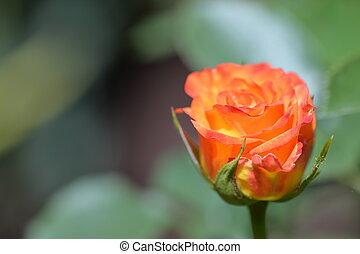 beau, été, jardin fleur, rose, jour ensoleillé