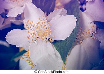 beau, été, macro, jasmin, frais, fleurs blanches