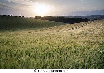 beau, été, paysage, de, champ, de, croissant, blé, récolte, pendant, coucher soleil