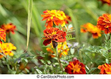 beau, été, soucis, jardin, ensoleillé, day., fleur