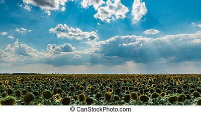 beau, été, tournesol, défaillance, ciel, nuageux, champ, temps, sur, paysage