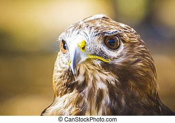 beau, aigle, diurne, prédateur, plumage, proie, oiseau