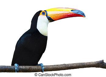 beau, arrière-plan., blanc, toucan