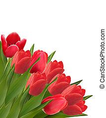beau, arrière-plan., valentine, tulipe, flowers., vecteur,...