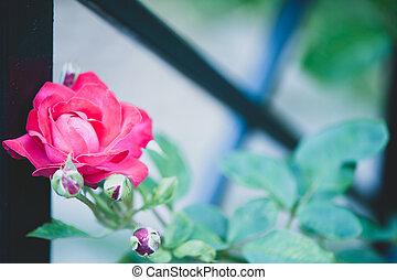 beau, autour de, barrière, rose, torsions, forgé, rouges