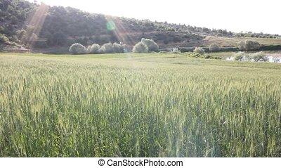 beau, blé, étang, nature, champ, dans
