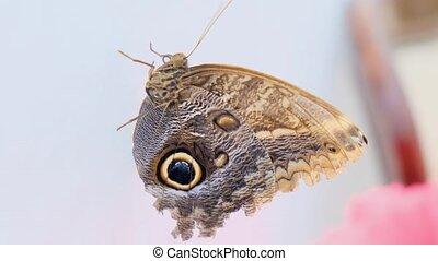 beau, blanc, brun, papillon, gros plan, arrière-plan gris