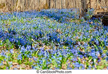 beau, bleu, printemps, forêt, perce-neige, primevères
