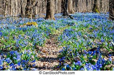 beau, bleu, printemps, profond, forêt, forêt, perce-neige, sentier, primevères