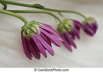 beau, bourgeons, pourpre, chrysanthème