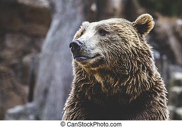 beau, brun, à poil, prédateur, ours, sauvage, mammifère