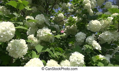 beau, buisson, viburnum, fleurir