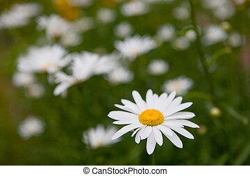 beau, camomille, pétales, fleurir, blanc, closeup.