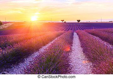 beau, champ, coucher soleil, lavande