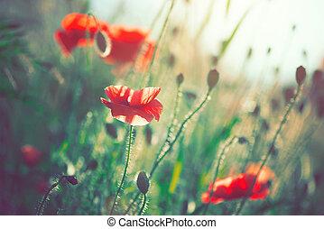 beau, champ, fleurs, pavot, fleurir