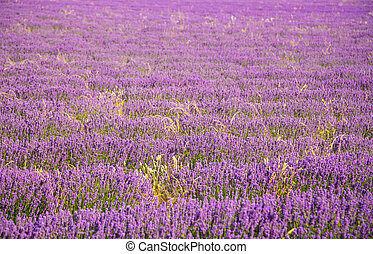 beau, champ, lavande, paysage, fleurir