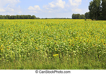beau, champ, sunflowers.