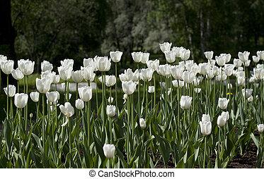 beau, champ tulipe