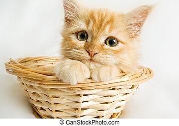 beau, chat, gentil, chaton