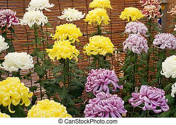 beau, chrysanthèmes, fleurs