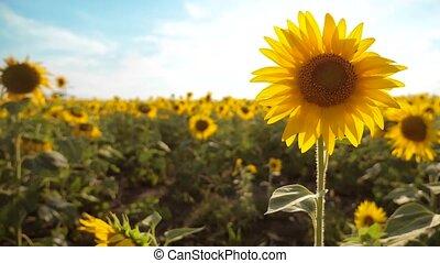 beau, ciel, fleurs, biomass, jaune, agriculture, bleu, paysage., lent, tournesol, agriculture., -, champ, helianthus, lot, agriculture, huile, collection, fond, video., style de vie, grand, concepts, mouvement