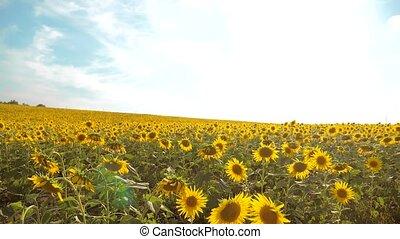 beau, ciel, fleurs, biomass, jaune, agriculture, bleu, paysage., lent, tournesol, agriculture., -, champ, helianthus, lot, agriculture, collection, fond, video., lifestylel, oi, grand, concepts, mouvement