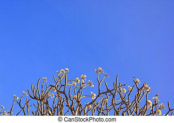 beau, ciel, fleurs, bleu, plumeria
