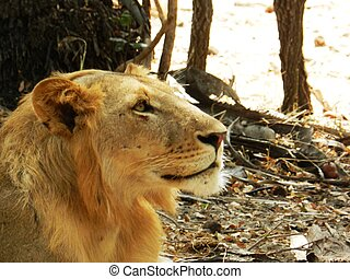 beau, closeup, lion, adulte, africaine, savane
